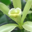Vanilla Flower in True or False