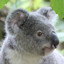 Koala Bears in True or False